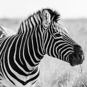 Zebra by Marc Crowther - Black & White Animals