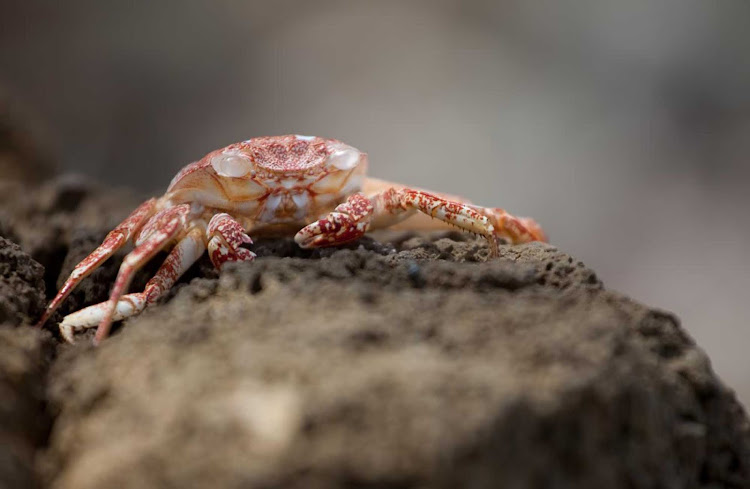A crab is ready for its close-up in Antigua.