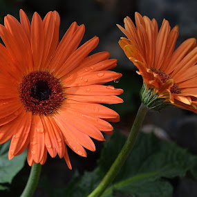 You Go Your Way, I'll Go Mine by Ed Hanson - Flowers Flower Gardens ( daisys, orange, nature, garden, close-up )