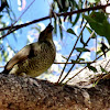 Satin Bowerbird (FEMALE)
