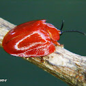 Red tortoise beetle