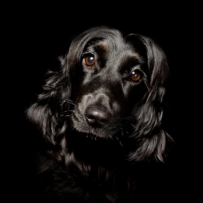 by Nikkojay Photography - Animals - Dogs Portraits (  )
