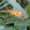 Long-horned Grasshopper