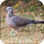 Spotted dove sound