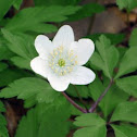 wood anemone, windflower, thimbleweed or smell fox