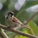 Burung Padi / Eurasian Tree Sparrow