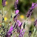 Alecrim (Spanish Lavender)