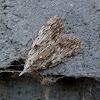 Dagger Tuft-moth