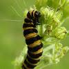 Cinnabar moth caterpilar