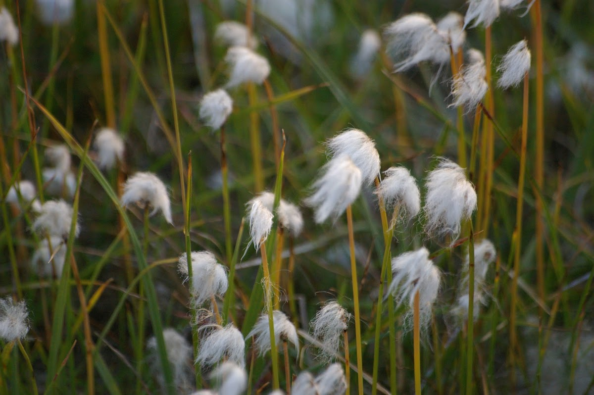 Arctic Cotton Grass