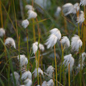 Arctic Cotton Grass