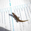 Mona Dwarf Gecko