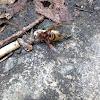 Hornet attacking a Cicada