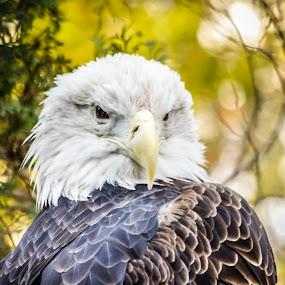 Wild Pride by Gabriel Cabrera - Animals Birds ( animals, bald eagel, wild nature, birds )