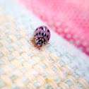 Ashy Gray Lady Beetle