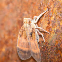 Net-winged Planthopper