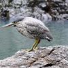 Mangrove (Striated) Heron