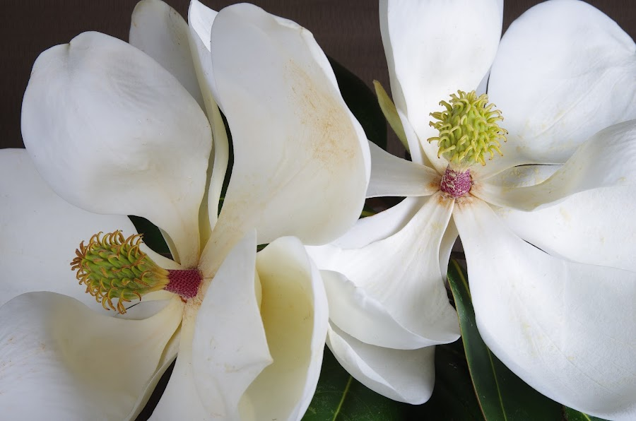 Giant Magnolias by Jeff Dugan - Flowers Tree Blossoms ( studio, southern, bloom, flowers, magnolia )