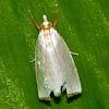 Snoutnose Moth
