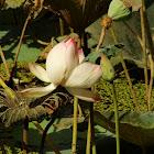 कमल Lotus