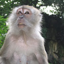 Crab-eating macaque