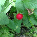Mock strawberry or Indian strawberry