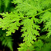 spikemoss, electric fern
