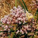 Mexican Whorled Milkweed