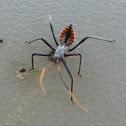 wheel bug nymph