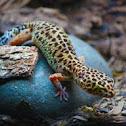 Blunt Nosed Leopard Lizard