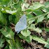 Gossamer-winged Butterfly