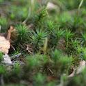 Bank Haircap Moss