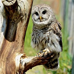 The Hoot Owl by  J B  - Animals Birds ( barred owl, owl, raptor, birds )