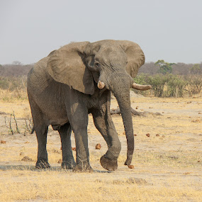 Large elephant in zimbabwe by Judith Dueck - Animals Other Mammals ( zimbabwe, fauna, elephant, south africa, vivid, wildlife, tusks, nature, safari, africa, head, wrinkled, animal, wild, wrap, herbivores, moving, beautiful, vertebrate, gray, mammal, wilderness, trunk, kruger national park, strong, savanna, outdoor, ears, eating, impressive, big, natural, outside, large, giant,  )