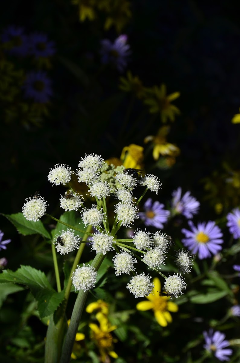 Lyall's Angelica