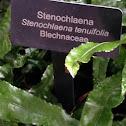 Stenochlaena
