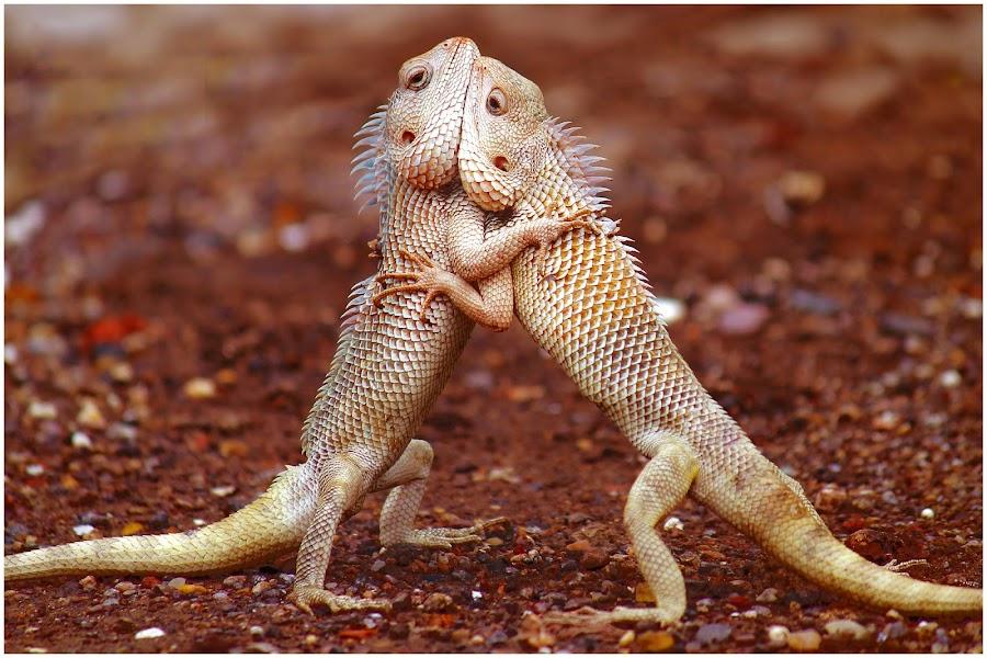 Lovely Lizards  by Chetan Bhandari - Animals Reptiles