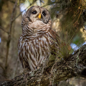 Deep In thought  by Liza Chevres - Animals Birds ( bird, florida, barred owl, owl )