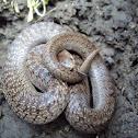 Lined Tolucan Ground Snake