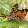 Pearl Crescent Butterflies (mating)
