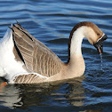 Brown Chinese goose  (domestic)