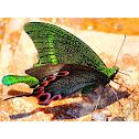 Tamil Peacock