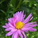 Aster (genus)