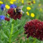 Nevada Bumblebee