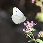 Small White (Male)