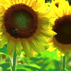 Stunflower by Tanya Washburn - Flowers Flower Gardens ( field, bumble bee, sunflowers, yellow, flowers )