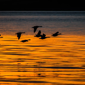 Geese at sunset by Nicole Williams - Novices Only Wildlife ( geese sunset river glow )