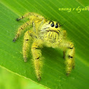 Heavy Jumping Spider ( male )