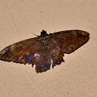 Letis Moth