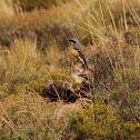 Drakensberg Rock-Jumper